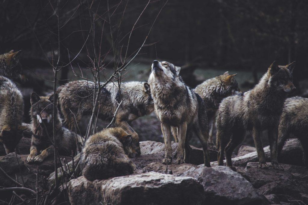 Elitpravo wolfs